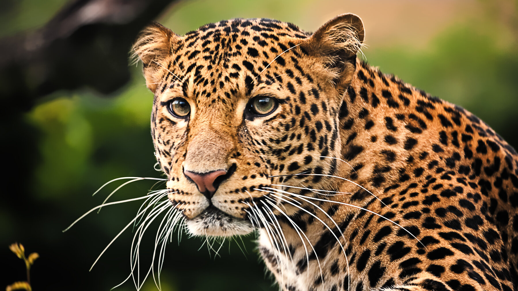 Java Leopard – Tierpark Berlin